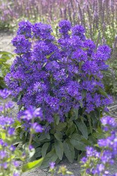 Perennials - Lots of great info
