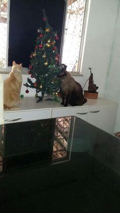 Caspa, Toddynho e Tonner - árvore de Natal dos cats