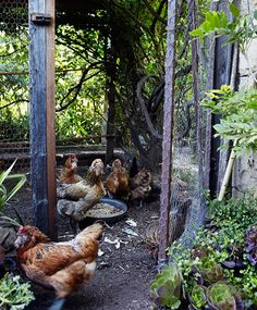chickens gardens happy chickens chickens coops backyard chickens