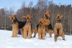 Afbeeldingsresultaat voor airedale terrier