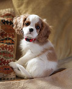 A new Cavalier King Charles Spaniel puppy.