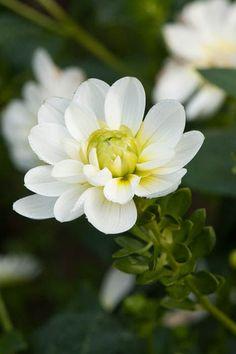 Dahlia 'Blanc y Verde'
