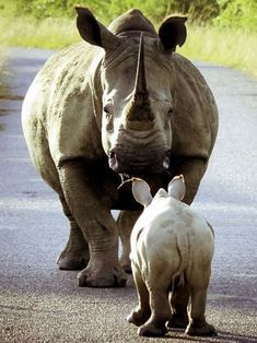 As playful as spring lamb (just a lot heavier): Bouncing baby rhino skips along the road in South African bush Cute Baby Animals, Animals And Pets, Wild Animals, Beautiful Creatures, Animals Beautiful, Rhino Species, Animal Original, Save The Rhino, Spring Lambs