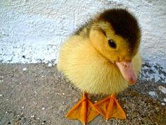 Fluffy Little Yellow and Brown Mallard Duckling - Baby Duck --- cutie!