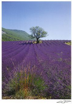 Lavender fields in Provence, France French Lavender, Lavender Blue, Lavender Fields, Purple Wisteria, Purple Roses, Beautiful World, Beautiful Places, Flower Landscape, Landscape Design