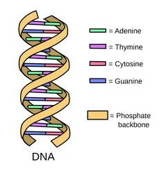 Dna Molecule Diagram Dna Structure Properties Types And Functions Molecular Biology. Dna Molecule, Nucleic Acid Structure, Dna Model Project, Dna And Genes, Biology Classroom, Dna Replication, Molecular Biology, Rats, Nursing