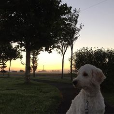 霧のかかった幻想的な朝 #おはようございます #朝焼け#風景#空#自然#木#ゴールデンドゥードル #ポチ#愛犬#癒し#北海道 #いぬのいる生活  #goldendoodle #ilovemydog #neture #view #sky#tree #ig_dogs #dogstagram #hokkaido #goodmorning