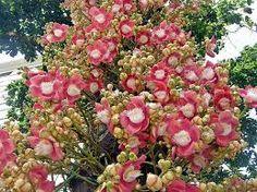 Couroupita guianensis tree Seeds,sacred tree Shiv Kamal,Cannonball tree Seeds,Nagalinga or Shiva Linga tree seed 20 Nos for growing Deciduous Trees, Trees And Shrubs, Trees To Plant, Flowering Trees, Exotic Plants, Exotic Flowers, Beautiful Flowers, Wild Flowers, Bodhi Tree