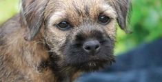 Find Border Terrier Puppies and Breeders in your area and helpful Border Terrier information. All Border Terrier found here are from AKC-Registered parents. Puppies That Dont Shed, Dog Breeds That Dont Shed, Small Dog Breeds, Border Terrier Puppy, Terrier Puppies, Border Terriers For Sale, Boston Terrier, Best Small Family Dogs, Dog Breed Info