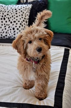 Our Miniature Golden Doodle - Brody Bear! Cute Dogs And Puppies, I Love Dogs, Doggies, Goldendoodle Miniature, Miniture Poodle, Australian Labradoodle Puppies, Goldendoodles, Labradoodles, Cockapoo