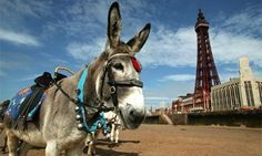 Blackpool Tower dominates the landscape in Britain's most famous seaside town. Donkey rides are obligatory (well, they should be). British Beaches, British Seaside, British Summer, Great British, British Isles, Book Images, My Images, The New Wave, Seaside Towns