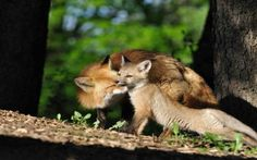 Mother Fox tending to her Baby Fox Cub Animals Images, Nature Animals, Animals And Pets, Wild Animals, Cute Animal Videos, Cute Animal Pictures, Fox Pictures, Amazing Pictures, Beautiful Creatures