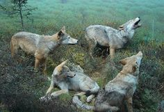 Algonquin Wolves - think this is the kind of wolf that Killian is mixed with - his mother looked much like these wolves