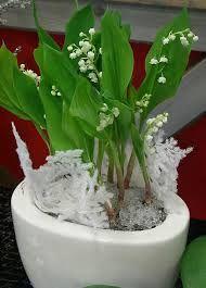 Maiglöckchen Giftig maiglöckchen giftig otsing kevad ja piibelehed