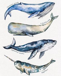 Likes, 47 Comments - Watercolor illustrations 🎨 (Abbey Briscoe.illustrations) on . Whale Painting, Watercolor Whale, Watercolor Animals, Watercolor Illustration, Painting & Drawing, Watercolor Paintings, Watercolour, Whale Drawing, Book Illustration