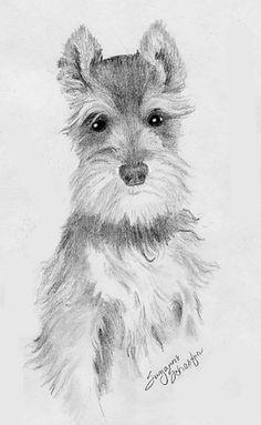 Miniature Schnauzer Drawing by Don Gallacher
