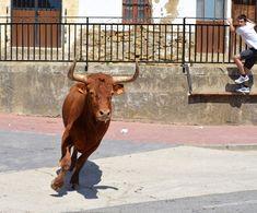 Santacara: Vacas de Jose Arriazu Año 2016 (4) Cow, Animals, Cows, Animaux, Animal, Animales, Animais