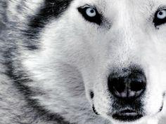 Siberian Husk