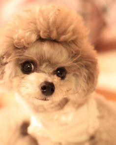 #toypoodle