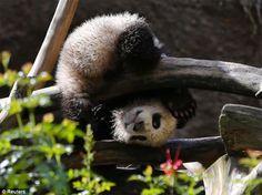 Giant Panda cub Xiao Liwu -- San Diego Zoo.