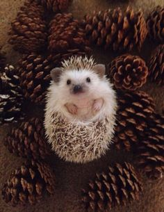Merry Christmas, Twinkie. From me and all the Hedgehog Pinecones......