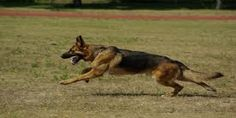 German Shepherd training is necessary for your German Shepherd puppy obedience training. For more info read the article on website
