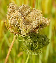 Recolectar semillas: consejos para extraer las semillas de hortalizas de raíz