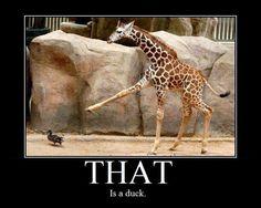 Dat is een eend...