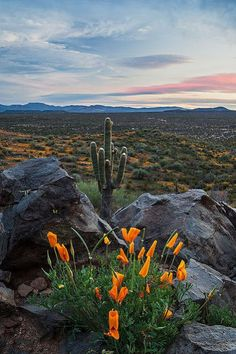The sun sets over the rez (San Carlos Apache Reservation) while the Mexican Poppies close up shop for the night on Peridot Mesa. Desert Dream, Desert Life, Desert Art, Desert Sunset, Beautiful World, Beautiful Places, Desert Flowers, Desert Plants, Belle Photo