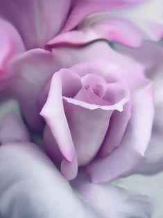 Looks like an Angel-face rose, my favorite!!