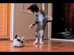 Gatito que se vuelve loco con un perro de juguete