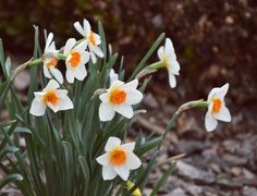 The Flying Clubhouse: Daffodils