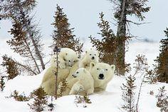 Polar Bear Ursus Maritimus Trio - photo by Matthias Breiter