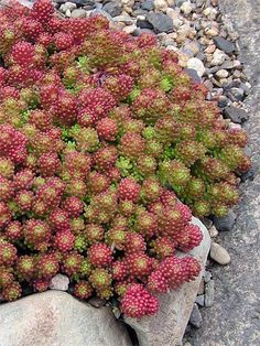 sedum lydium - leaves turn bright red in full sun. ground cover.