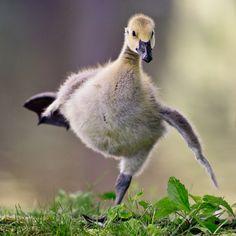 ~Sobriety Test~                                    by garreyf on Flickr.                Baby Canadian goose