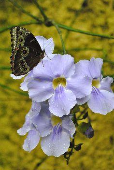Caliga Memnon Butterfly