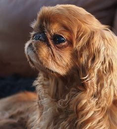 English Toy Spaniel RUSTY Source by alexbazhan The post RUSTY appeared first on Gwen Howarth Dogs. Spaniel Breeds, Spaniel Puppies, Dogs And Puppies, Doggies, Unique Dog Breeds, Small Dog Breeds, Small Dogs, Fear Of Dogs, Purebred Dogs