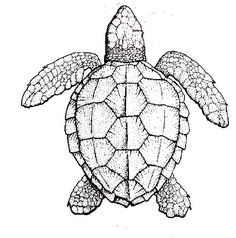 symmetry of sea turtle shell