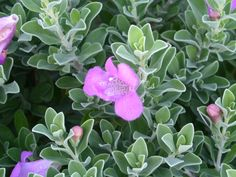 Texas Sage...Makes a beautiful shrub, and is evergreen in SC.  Grows at the Main House and Retreat on Main at Breeden Inn. www.breedeninn.com