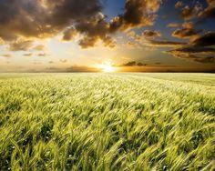 Wheat field..