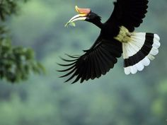 Rhinoceros Hornbill  Photograph by Tim Laman