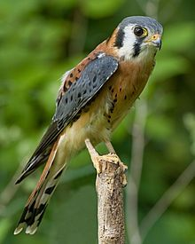 American Kestrel (Falco sparverius)   The American Kestrel, sometimes colloquially known as the Sparrow Hawk, is a small falcon, and the only kestrel found in the Americas. It is the most common falcon in North America, and is found in a wide variety of habitats.