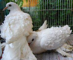 White Frillbacks White Pigeon, Dove Pigeon, Jacobin Pigeon, Pigeon Loft, Interesting Animals, Comic Drawing, White Wings, Backyard Farming, Cute Animal Videos