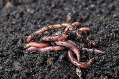No Odor | The Essential Benefits Of Worm Farming | Homesteading For Beginners