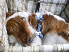 Charlie The Cavalier : Does your Cavalier like Road Trips?