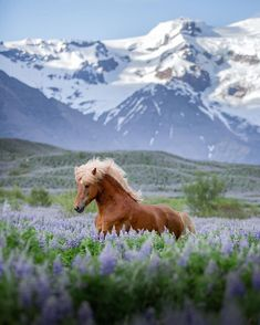 Some Beautiful Images, Palomino, Planet Earth, Location History, Iceland, Planets, Europe, Horses, Explore