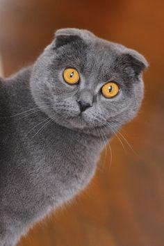 Grey Scottish Fold Cat - #scottishfoldcats - Different type of Scottish Fold Cat Breeds at Catsincare.com