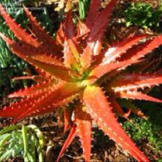 PlantFiles Pictures: Aloe Species (Aloe dorotheae) by Succulent Rock Garden, Succulent Terrarium, Cacti And Succulents, Planting Succulents, Garden Plants, Terrariums, Love Flowers, Wild Flowers, Agaves