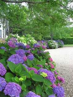 A hedge of colorful Hydrangea are a great way to soften the straight lines of a driveway.