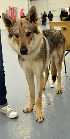 ♥, # lobo # checoslovaco Imágenes efectivas que le p - Wolf Husky, Wolf Dogs, Wolfdog Hybrid, Tamaskan Dog, Northern Inuit Dog, Animals And Pets, Cute Animals, Czechoslovakian Wolfdog, Golden Retriever